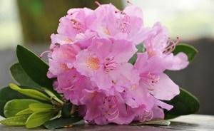 As azaleias são flores que no Feng Shui simbolizam a harmonia e os bons sentimentos.