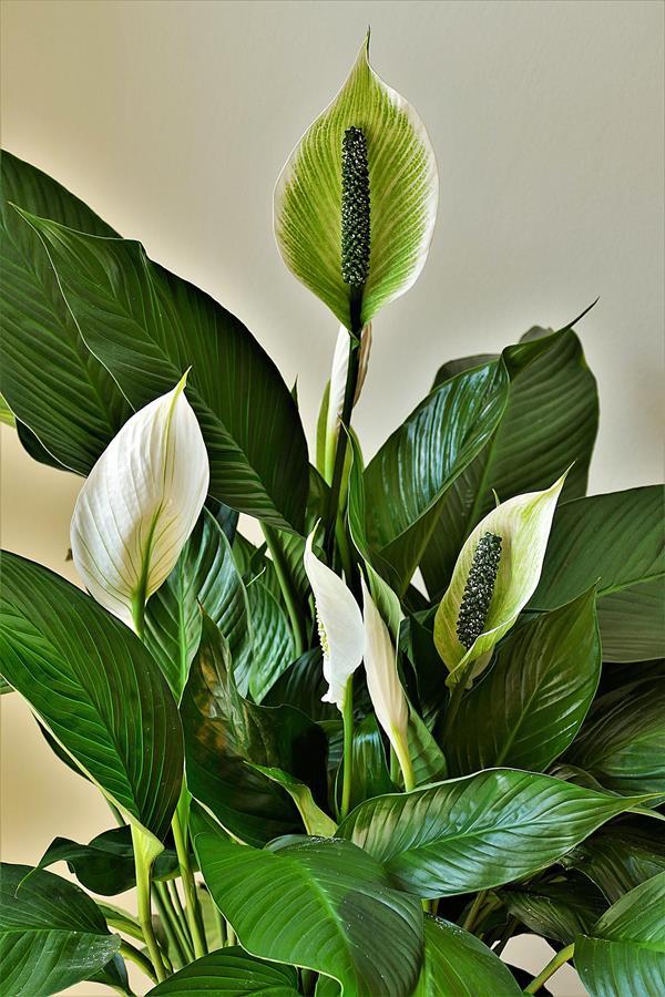Segundo o Feg Shui, o lírio da paz é uma planta que tem o poder de trazer harmonia aos ambientes.