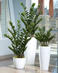 Zamioculca: Folhas verdes brilhantes e galhos alongados.