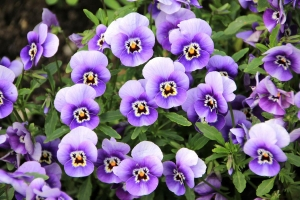 Violeta: Flores que decoram o ambiente.