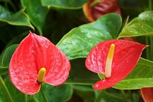 Antúrio: Flores e folhas exuberantes.