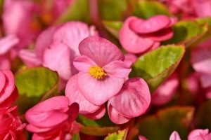Begônia: abundância de flores.