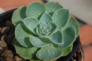 Echeveria: Suculenta para pequenos vasos ou terrários.